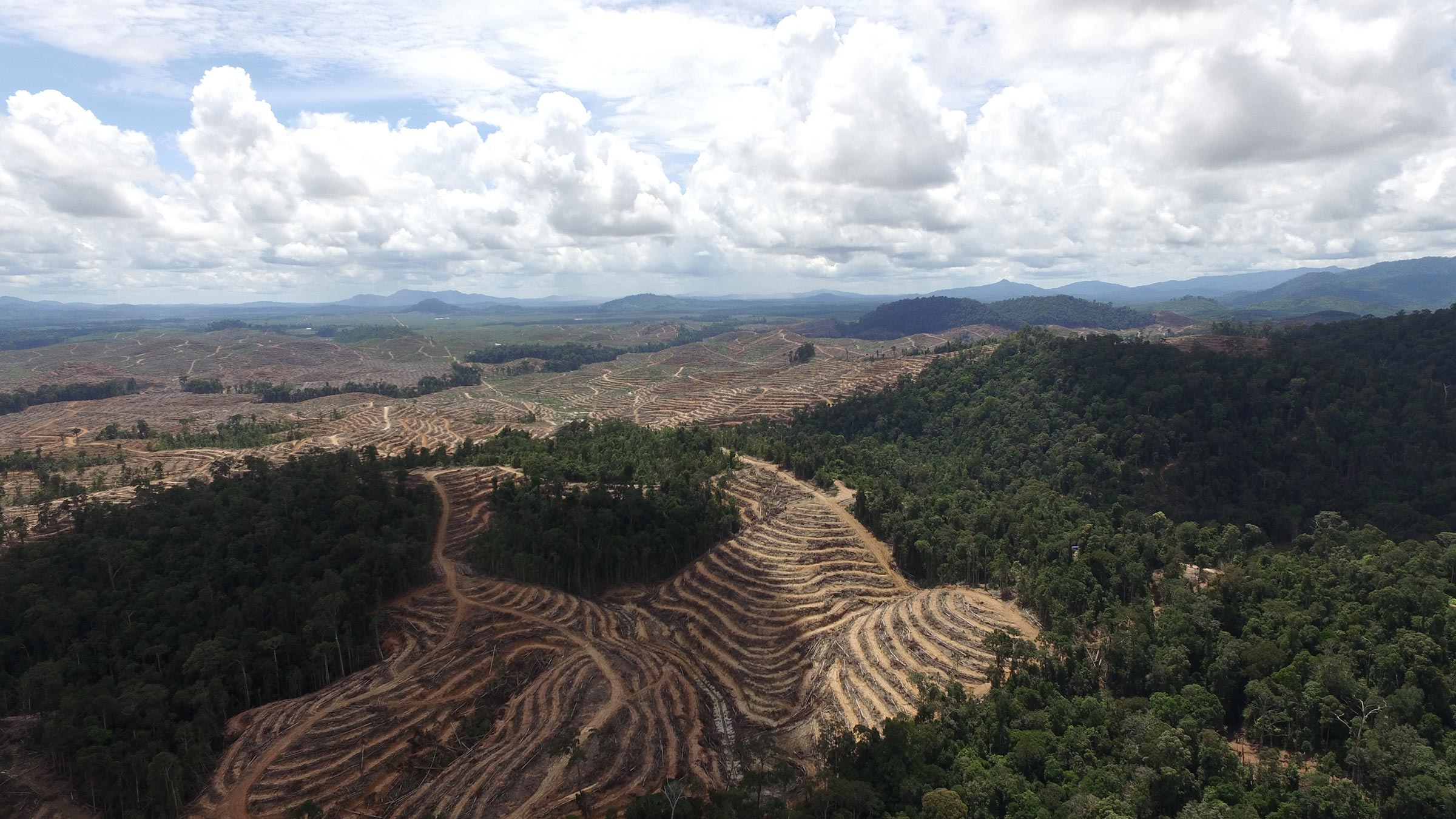 indonesia palm oil trees